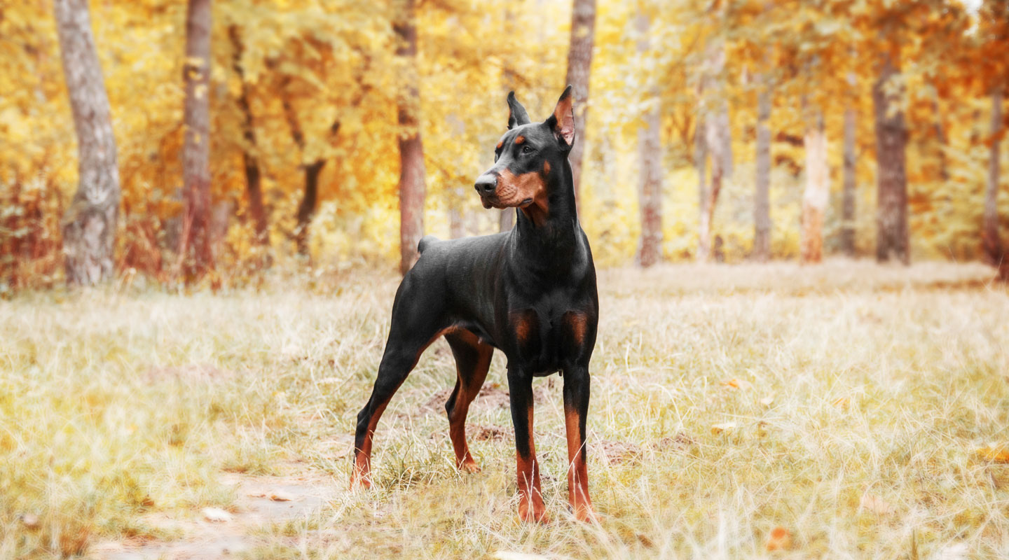 """The Doberman Pinscher is among the most popular breed of dogs in the world. Known for its intelligence and loyalty, the Pinscher is both a police- favorite"""