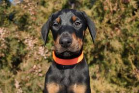 doberman-puppy-uk