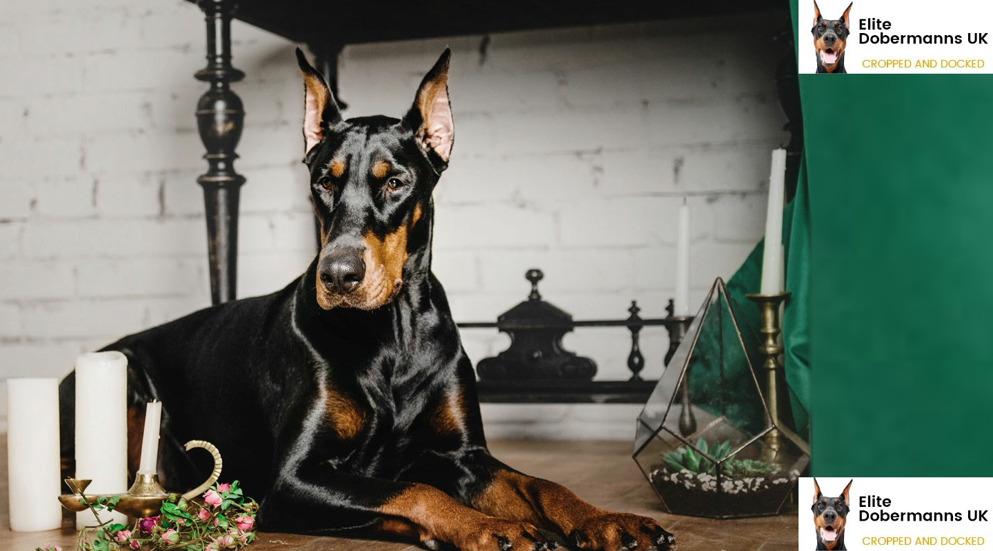 Home Elite Dobermanns Uk